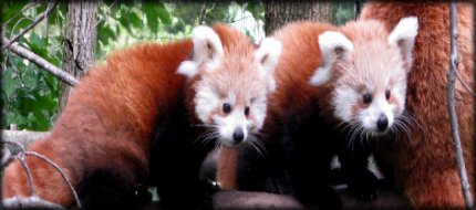 Red Pandas at Binder Park Zoo